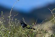 Male silky Flycatcher in The Lost Dutchman State Park, AZ