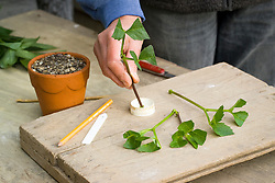 Taking cuttings from dahlias. Trimming leaves and dipping in hormone rooting powder. Demonstrated by Kathleen Leighton, nursery manager at Great Dixter