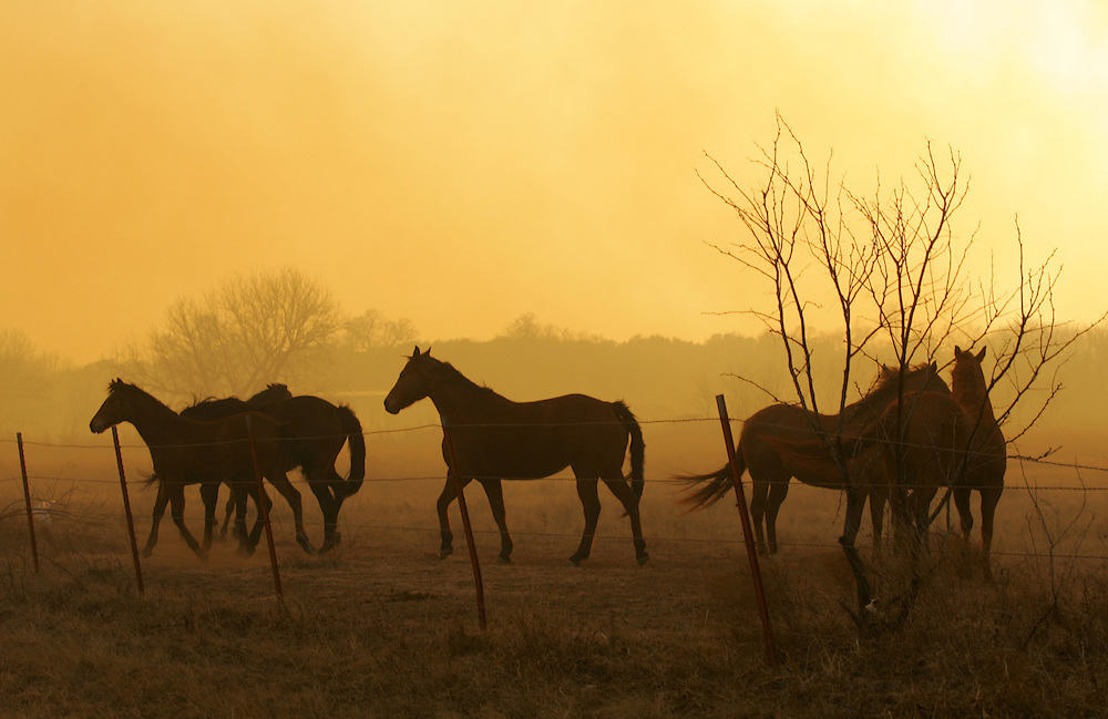 Photo © 2005 Alex Jones..Horses stand in a field West of Cross Plains, TX on the afternoon of Tuesday, December 27, 2005, directly in the path of a large grass fire that was sweeping through the area.