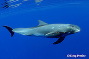 pygmy killer whale, Feresa attenuata, male, with scars, Kona, Hawaii, United States ( Central Pacific Ocean )