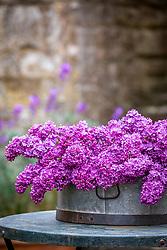 Picked Syringa vulgaris - Lilac