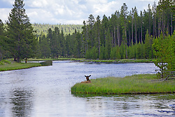 A cow elk strategically placed to enjoy her surroundings at the Firehole River in Yellowstone National Park