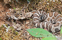 """Northern Pacific rattlesnake, Crotalus viridis oreganus, keeps its head partially concealed while rattling its tail. Even though this individual is too young to have a rattle - its tail ends in a single """"button"""" - it still exhibits rattling behavior when threatened. Mendocino County, California"""