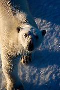 Nanuk: Polar Bear, Ursus Maritimus seen from the deck of the Arctic Sunrise in Kane Basin, North west Greenland.  The bear's curiosity drew the ship while it was stationary, in sea ice, just after midnight on Sunday morning.  It came very close to the ship, and even looked like it thought about trying to scale the side of the vessel, before playfully rolling about on the ice.