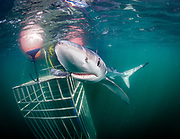 Blue shark, Montauk