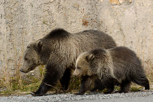 Grizzly Bear (Ursus arctos) Mother with cub in Yellowstone National Park. Fall.