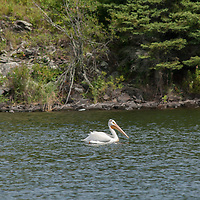 An American White Pelican (Pelecanus erythrorhynchos) swims on Lake of the Woods, Ontario, Canada.