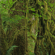 Densely packed trees in the Hoh Rain Forest in Olympic National Park, WA.