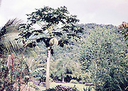 Pawpaw fruit tree, Asimina triloba, growing in rural are of Trinidad c 1962 - bamboo pots in background used for cocoa and banana plant seedlings