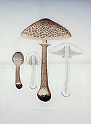 Macrolepiota procera, [Here as Agaricus (Lepiota) procerus] the parasol mushroom, is a basidiomycete fungus with a large, prominent fruiting body resembling a parasol. It is a fairly common species from the book Sveriges ätliga och giftiga svampar tecknade efter naturen under ledning [Sweden's edible and poisonous mushrooms drawn after nature under guidance] By Fries, Elias, 1794-1878; Kungl. Svenska vetenskapsakademien Published in Stockholm, Sweden in 1861