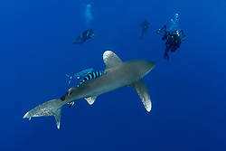 Oceanic White-tip shark, Carcharhinus longimanus, approaching several underwater photographers.  Bahamas, Atlantic Ocean