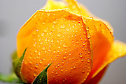 close up of a Yellow rose with dew drops