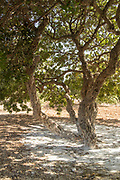 Mastic Tree (Pistacia lentiscus) on sunny day, Mesta, Chios, Greece