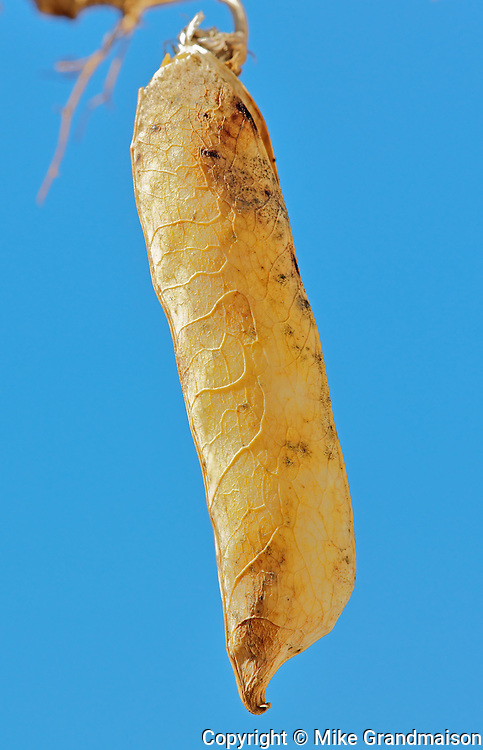 Yellow pea closeup<br /> Kyle<br /> Saskatchewan<br /> Canada