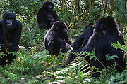 A group of black-back mountain gorilla (Gorilla beringei beringei) sitting in the forest, Parc de Volcanos, Rwanda, Africa