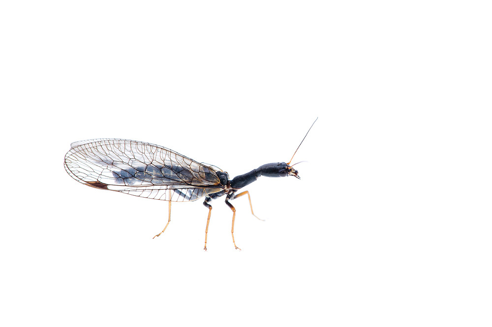 IFTE-NB-007781; Niall Benvie; Snake fly; family Raphidiae; Europe; Austria; Tirol; Fliesser Sonnenhänge; insect arthropod invertebrate; horizontal; high key; black white; controlled; one; woodland edge; 2008; July; summer; strobe backlight; Wild Wonders of Europe Naturpark Kaunergrat