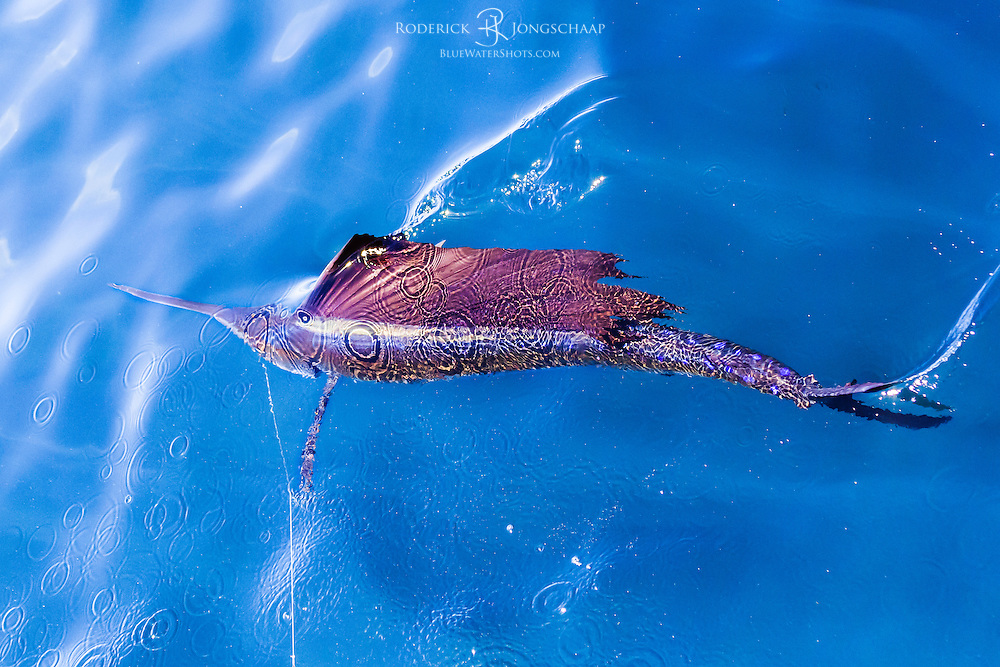 Atlantic Sailfish swimming underwater with its entire sail upright offshore Lobito, Angola. The tip of the sail and its tailfin only just break the surface.