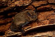 Bat Common pipistrelle (Pipistrellus pipistrellus) roosting in oak tree, Kiel, Germany | Zwergfledermaus (Pipistrellus pipistrellus) verläßt ihr Tagquartier in einer alten, abgestorbenen Eiche. Kiel Deutschland