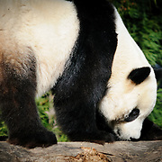 Panda at the Smithsonian Institution's National Zoo, Washington DC. The panda is standing on all fours on a fallen branch with its head down.