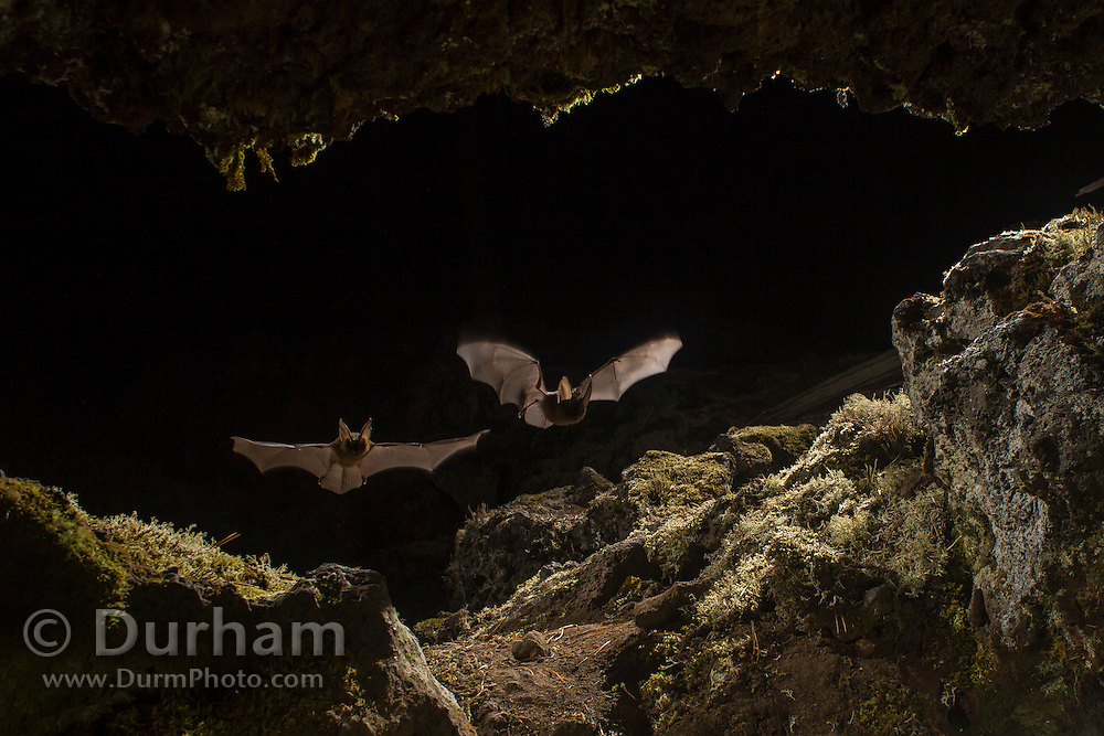 Two Townsend's big-eared bats (Corynorhinus townsendii) fly into a cave in part of the Big Lava Bed, in the Gifford-Pinchot National Forest, Washington.