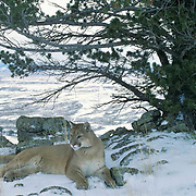 Mountain Lion or Cougar, (Felis concolor) Adult resting in fotthills of . Rocky mountains. Montana.   Captive Animal.