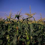 A295GF Sweet corn crop sideways view against deep blue summer sky
