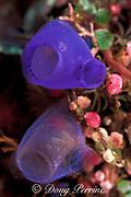 sea squirts, tunicates, or ascidians, Rhopalaea sp., on Liberty Wreck, Tulamben, Bali, Indonesia