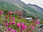 """Pink fireweed reclaims a ghost town where the 14-story tall Kennecott Concentration Mill processed copper ore 1911-1938. Kennecott Mines National Historic Landmark and nearby McCarthy nestle under Bonanza Ridge in the Wrangell Mountains within Alaska's Wrangell-St. Elias National Park and Preserve, the largest National Park in the USA. Old mine buildings, artifacts, and colorful history attract summer visitors. Remote McCarthy is connected to Chitina via the McCarthy Road spur of the Edgerton Highway. At the east end of McCarthy Road, visitors must park their vehicle and walk across the footbridge to McCarthy. From McCarthy, a privately-operated shuttle takes visitors 5 miles to Kennecott. After copper was discovered between the Kennicott Glacier and McCarthy Creek in 1900, the Kennecott town, mines, and Kennecott Mining Company were created and named after the adjacent glacier. Kennicott Glacier and River had previously been named after Robert Kennicott, a naturalist who explored in Alaska in the mid-1800s. The corporation and town stuck with a mistaken spelling of """"Kennecott"""" with an e (instead of """"Kennicott"""" with an i). Partly because alcoholic beverages and prostitution were forbidden in the company town of Kennecott, the neighboring town of McCarthy grew quickly to provide a bar, brothel, gymnasium, hospital, and school. The Copper River and Northwestern Railway reached McCarthy in 1911 to haul over 200 million dollars worth of ore 196 miles to the port of Cordova on Prince William Sound. By 1938, the world's richest concentration of copper ore was mostly gone, the town was mostly abandoned, and railroad service ended. Not until the 1970s did the area began to draw young people for adventure and the big money of the Trans Alaska Pipeline project. Declaration of Wrangell-St. Elias National Park in 1980 drew adventurous tourists who helped revive McCarthy with demand for needed services. Wrangell-St. Elias is honored by UNESCO as a World Heritage Site."""