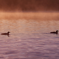 Two Common Loons swimming on Nettie Lake in early morning golden light as fog burns away.