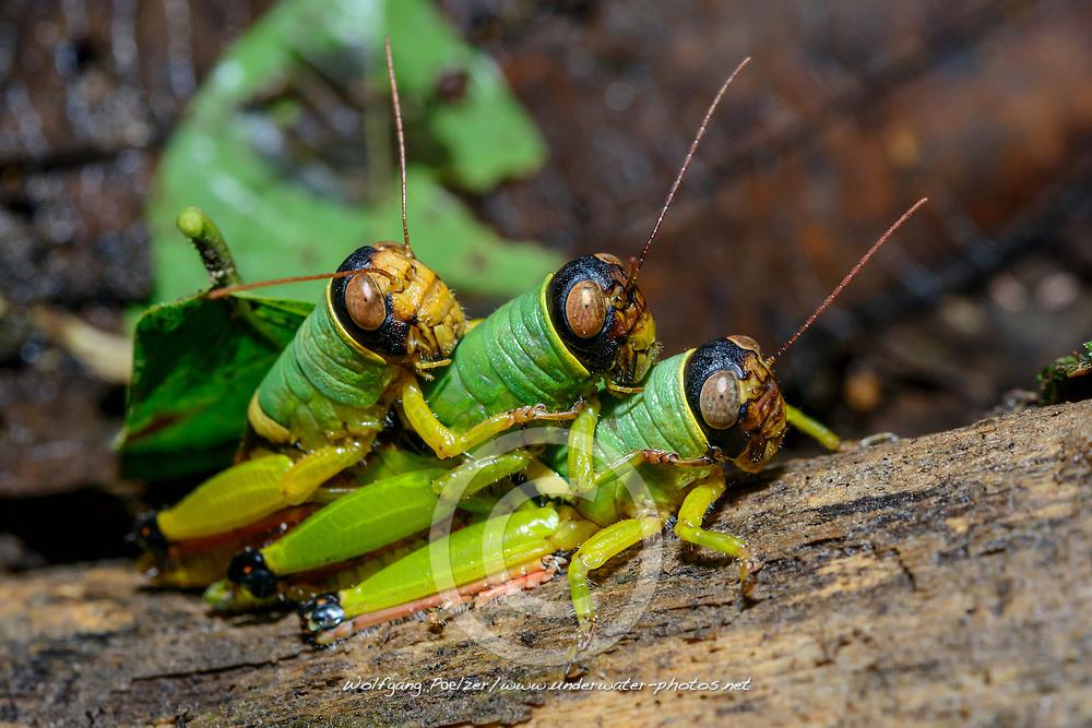 Gruene Heuschrecke, Kurzfühlerheuschrecke (Orthoptera - Order, Caelifera - Suborder) Drei Maennchen beim Paarungsversuch Costa Rica, Carara Nationalpark / Green Grasshopper (Orthoptera - Order, Caelifera - Suborder) three male trying copulating, Costa Rica, Carara National Park
