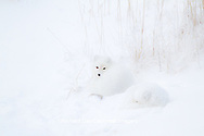 01863-01413 Two Arctic Foxes (Alopex lagopus) in snow Chuchill Wildlife Mangaement Area, Churchill, MB Canada