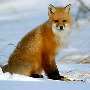 Red Fox (Vulpus fulva) near Churchill, Manitoba, Canada, Winter)