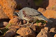 Gambel's Quail (Callipepla gambellii) Amado, Arizona<br /> animals<br /> wildlife<br /> birds
