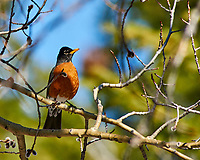 Early springtime Robin in a tree at Lily lake in Rocky Mountain National Park. Image taken with a Nikon D300 camera and 80-400 mm VR lens (ISO 200, 400 mm, f/5.6, 1/800 sec).