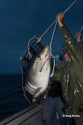 researchers lower a porbeagle shark, Lamna nasus, back into the water after tagging and measuring, New Brunswick, Canada ( Bay of Fundy ); Joey Pratt of Canadian Shark Conservation Society, foreground