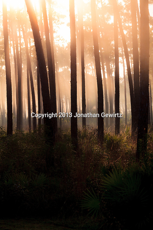 Morning fog in the pine forest at Long Pine Key in Everglades National Park, Florida. WATERMARKS WILL NOT APPEAR ON PRINTS OR LICENSED IMAGES.
