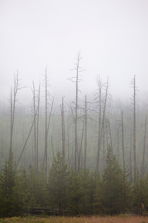 """Dead trees shrouded in low cloud and fog at Dunraven Pass, Yellowstone National Park, Wyoming. This mage can be licensed via Millennium Images. Contact me for more details, or email mail@milim.com For prints, contact me, or click """"add to cart"""" to some standard print options."""