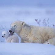 Polar Bear, (Ursus maritimus) Mother and newborn cub near den. Wapusk National Park. Churchill, Manitoba. Canada.