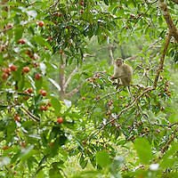 Long-tailed Macaque (Macaca fascicularis) feeding in a fruiting strangler fig tree (Ficus dubia).