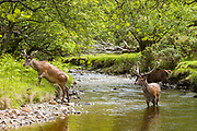 Red Deer stags, Cervus elaphus, with large antlers in river scene beside at Lochranza, Isle of Arran, Scotland