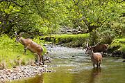 Red Deer stags, Cervus elaphus, with large antlers in river scene beside at Lochranza, Isle of Arran, Scotland