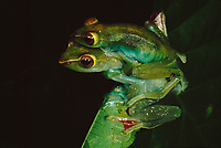 A pair of jade tree frogs (Rhacophorus dulitensis) in amplexus. The male (on top) is waiting to fertilize the female's eggs.  This is one of the gliding frog species of Borneo