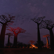 Night skies and baobab trees, Avenue of the Baobabs, Madagascar.