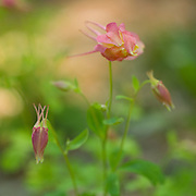 Buds about to open on a Swan Pink Columbine