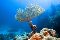 bent sea rod, Plexaura flexuosa, .Molasses Reef, Key Largo, Florida Keys .National Marine Sanctuary, Florida (Atlantic)