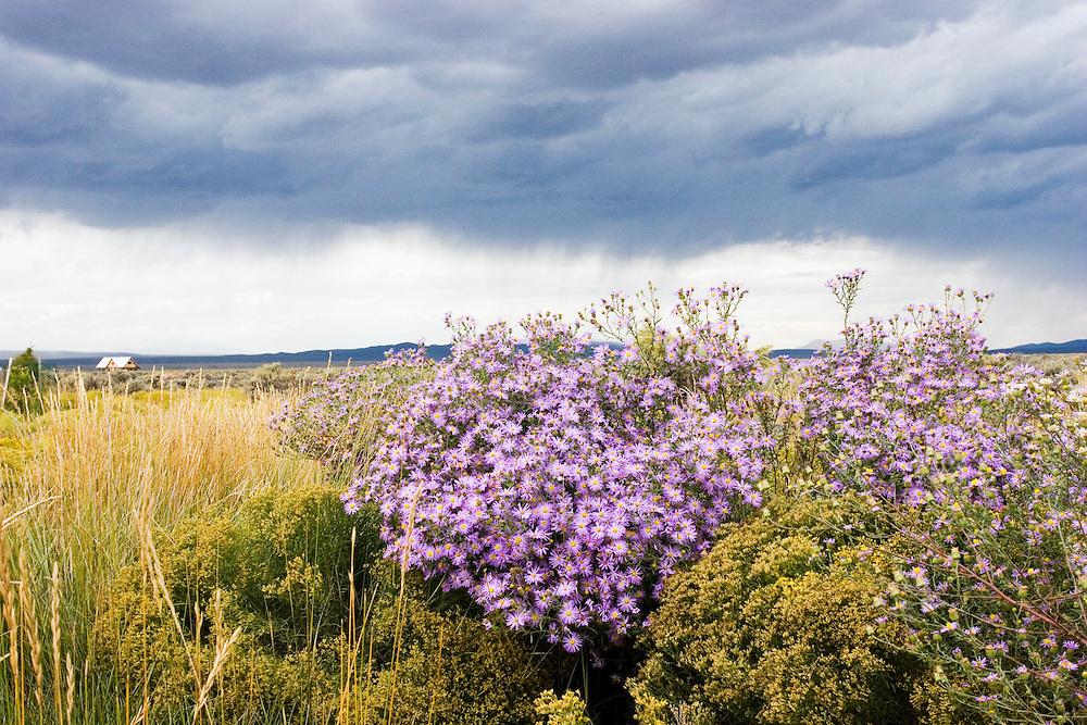 Asters bloom under stormy skies