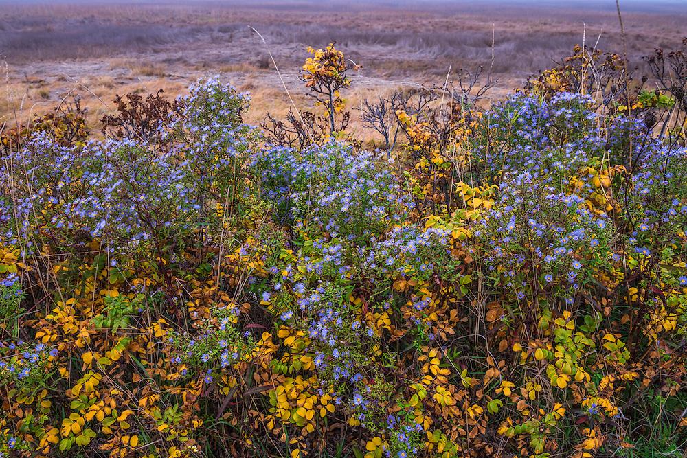 Purple asters and yellow fall color of rose bushes, Biddeford Pool, Biddeford, ME
