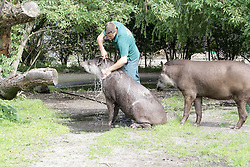 THEMENBILD - die Flachland-Tapire Xingo und Carmina mit Nachwuchs Maya, 5 Wochen alt im Tierpark Hagenbeck, Hamburg aufgenommen am 24.07.2013 // THEME PICTURE - the lowland tapirs Xingo and Carmina with young Maya, 5 weeks old at the Hagenbeck Zoo, Hamburg added on 24/07/2013. EXPA Pictures © 2013, PhotoCredit: EXPA/ Eibner/ Andre Latendorf<br /> <br /> ***** ATTENTION - OUT OF GER *****