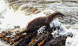No Brexit problems for this otter as he emerges from the surf with a fish. The young otter has caused quite a stir playing to folks out for their walks during the Covid-19 lockdown raising a smile to those who have the luck spotting him picture kevin mcglynn