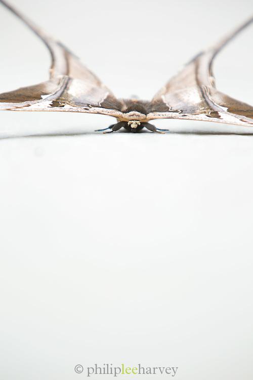 Moth, Mashpi Reserve, Ecuador, South America